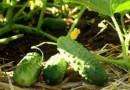 6 симптомов проблем с удобрениями у огурцов