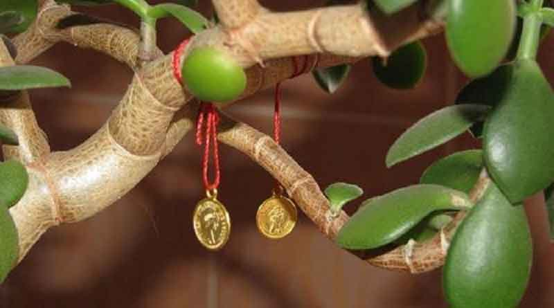 Как посадить отростки денежного дерева. Как посадить денежное дерево