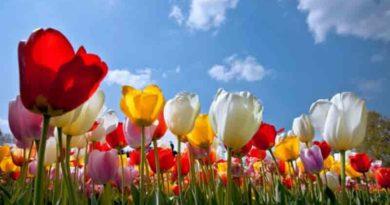 Тюльпаны радуют глаз во время майских выходных дней