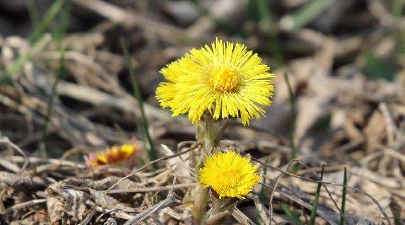 Цветы мать и мачехи
